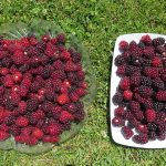 Health Benefits Associated With Boysenberry Chocolate